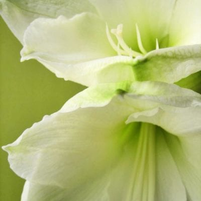 Amaryllis – Perfect for decorating your home at Christmas time
