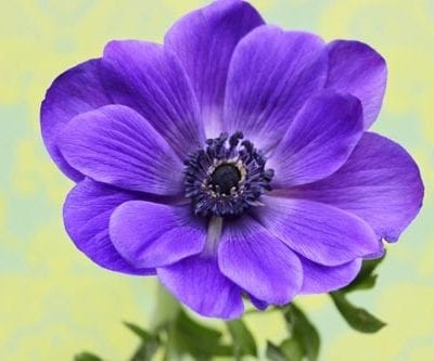 Anemone – a cheerful flower to brighten up your day