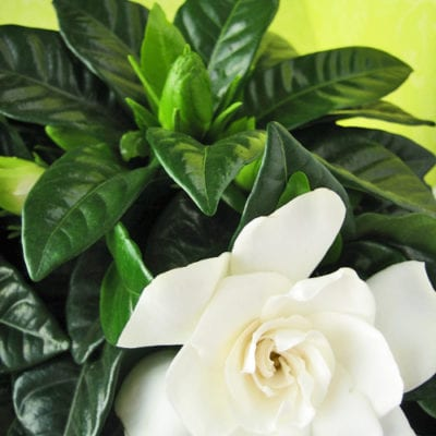 Gardenia – a beautiful and highly fragrant plant