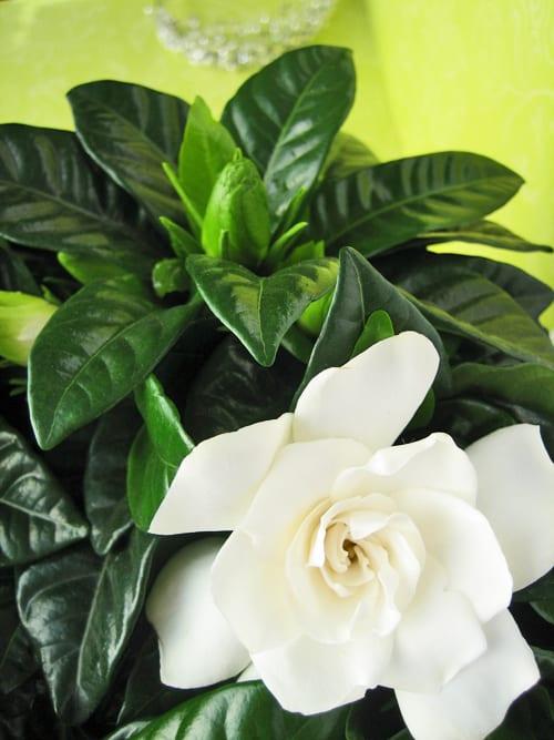 gardenia  u2013 a beautiful and highly fragrant plant