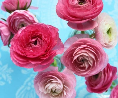 Ranunculus – one of my favourite flowers