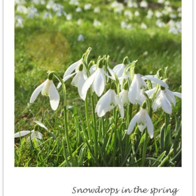 Snowdrops – nature's first sign of spring