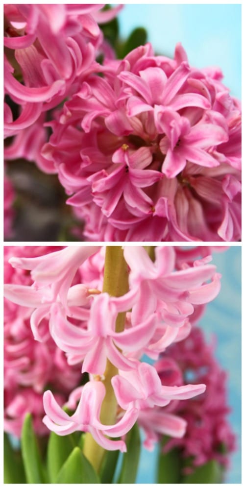 Hyacinth A Highly Fragrant Spring Bulb And Cut Flower
