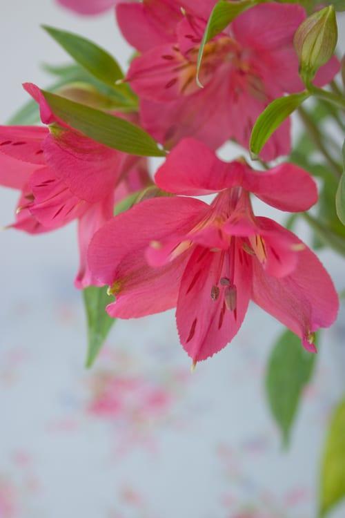 alstroemeria a long lasting cut flower flowerona. Black Bedroom Furniture Sets. Home Design Ideas