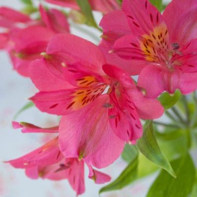 Alstroemeria – a long-lasting cut flower