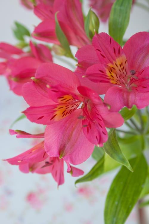 Alstroemeria A Long Lasting Cut Flower Flowerona