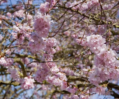 Beautiful pink blossom on a spring day in Bushy Park