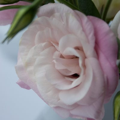 Lisianthus – often mistaken for a rose or peony