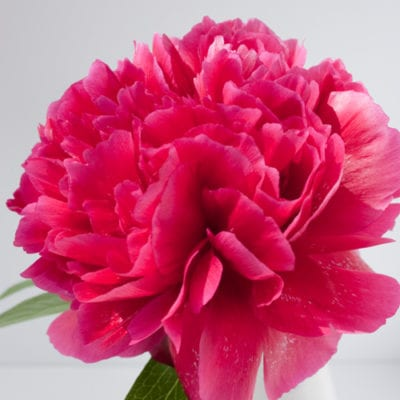 Peony – one of my favourite flowers