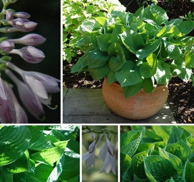 Flowers In Pots : Hostas…perfect plants for pots