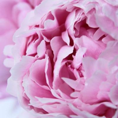 Simply Sarah Bernhardt peonies…