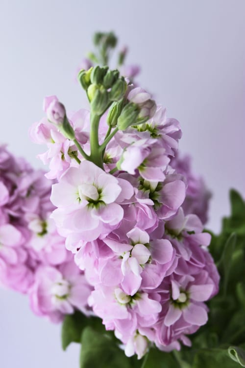 Stock – a wonderfully fragrant flower