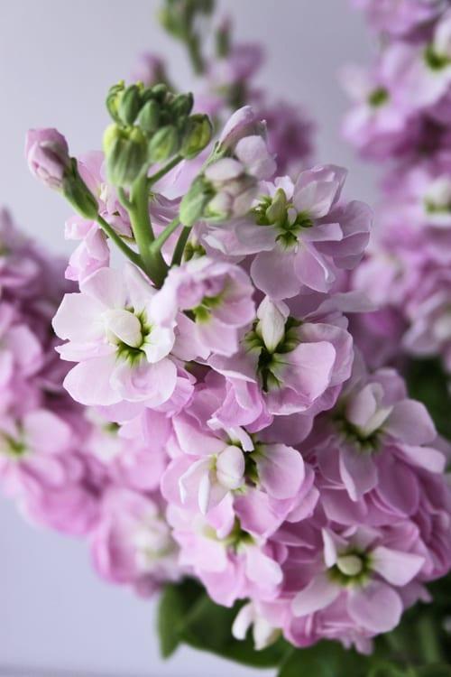 Stock a wonderfully fragrant flower flowerona so mightylinksfo Gallery