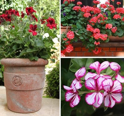 Flowers In Pots: Bedding Geraniums – an instant burst of summer colour