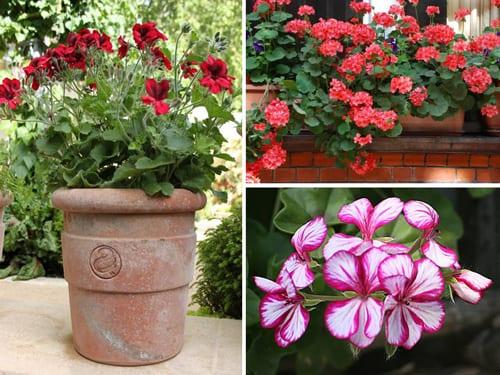 Flowers In Pots Bedding Geraniums An Instant Burst Of Summer Colour