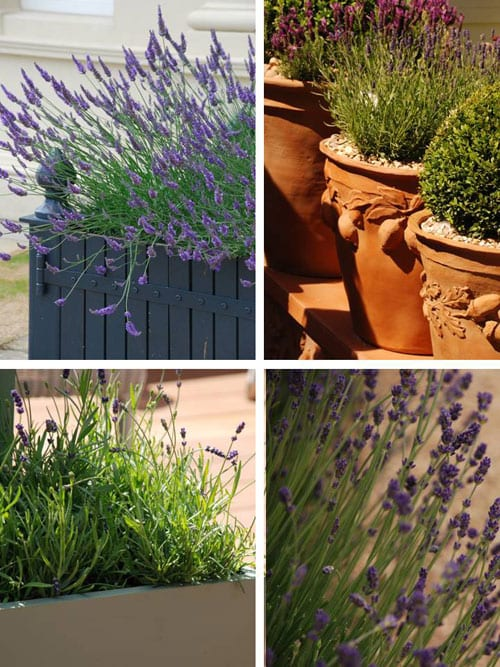Lavender…add fragrance and colour to your outdoor space