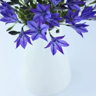 Triteleia – a beautiful violet blue flower