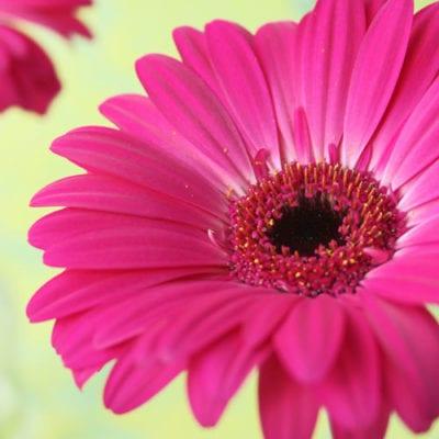 Gerbera – a happy daisy-like flower