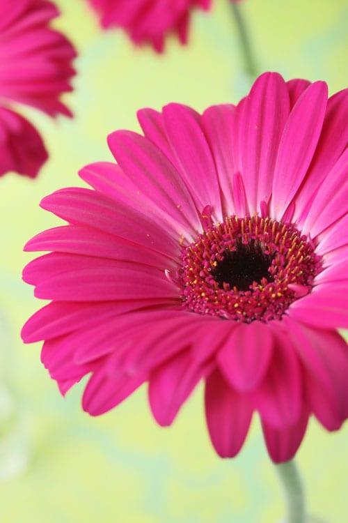 Gerbera a happy daisy like flower flowerona i mightylinksfo