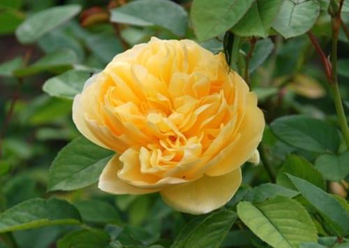 Garden Flowers: A popular garden favourite, the rose