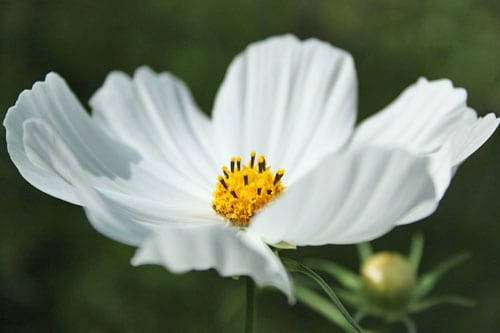Cosmos – such easy flowers to grow in your garden