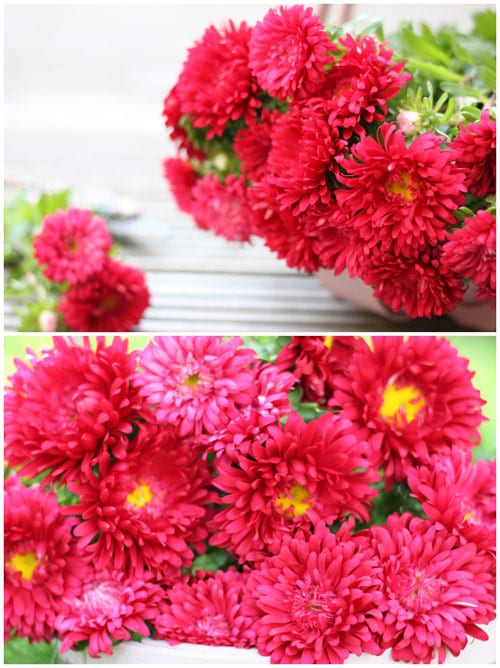 Beautiful cerise pink asters