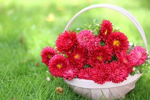 Beautiful cerise pink asters flowerona beautiful cerise pink asters mightylinksfo