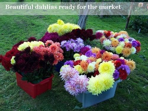 A flower grower's story from Withypitts Dahlias