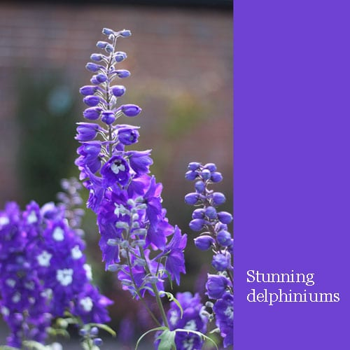 Beautiful purple delphiniums