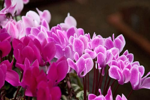 itu0027s best to buy cyclamen that have been planted in pots and are already in flower when you plant them you need to ensure that the tops of the corms are