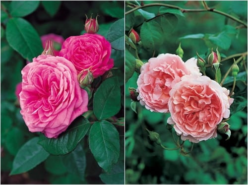 David Austin Roses - Gertrude Jekyll & Strawberry Hill