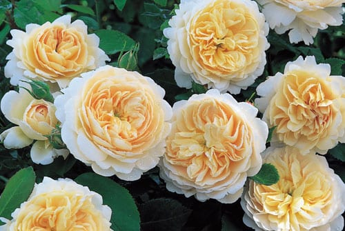 Garden Flowers : Drive away the January blues by planting your summer roses