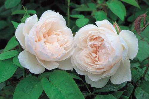 David-Austin-Roses-The-Generous-Gardener