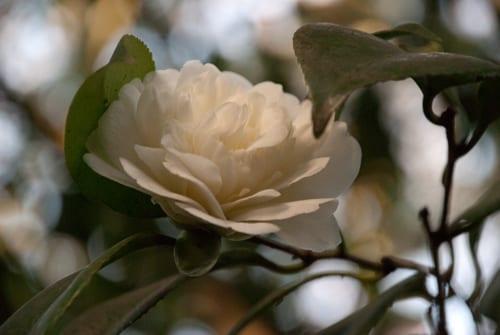 Camellia sasanqua - double white