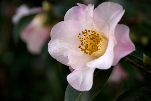 Camellia sasanqua - while-pale pink