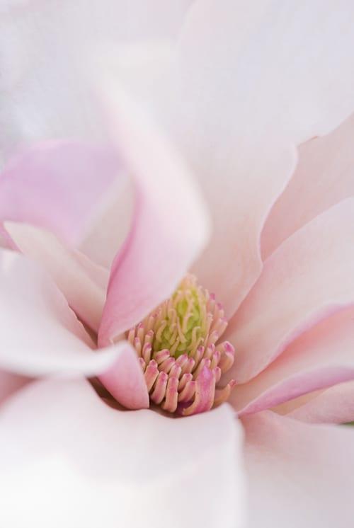 Magnolia 'Pinkie' - Heather Edwards Flower Photography