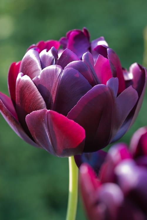 Tulip 'Black Hero' - Heather Edwards Flower Photography