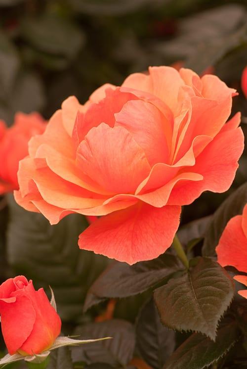Rosa 'Fellowship' - Heather Edwards Flower Photography
