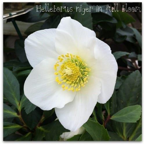 Helleborus-niger-Christmas-rose