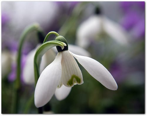 Snowdrops by Kevinjay/Flickr