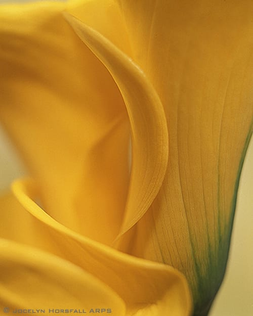 yellow calla Jocelyn Horsfall