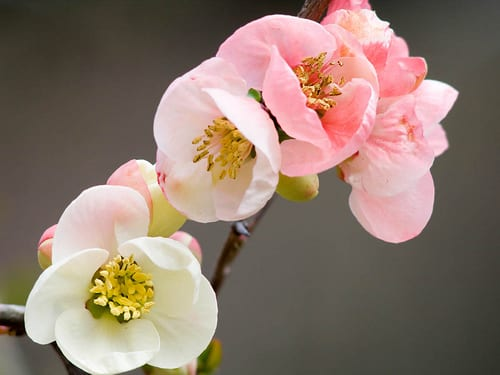 Garden Flowers : The Japanese Quince – thorny but beautiful!