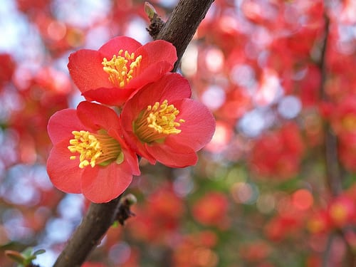 Japanese Quince - Flickr