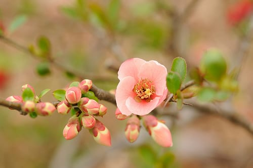 Garden flowers the japanese quince thorny but beautiful flowerona japanese quince flickr mightylinksfo