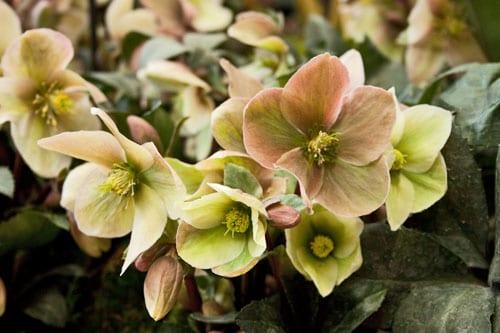 Hellebores-Rona-Wheeldon-Flowerona