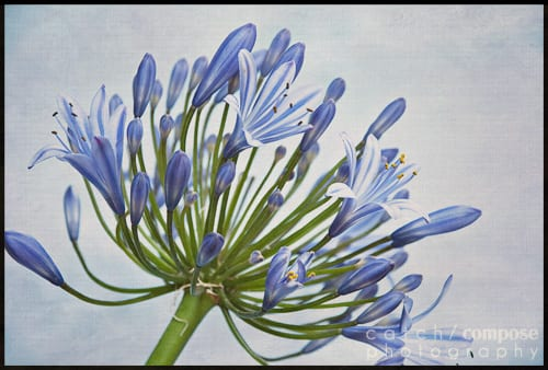 agapanthus-Catch-Compose-Design