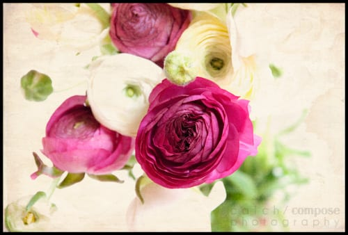 pink_ranunculus-Catch-Compose-Design