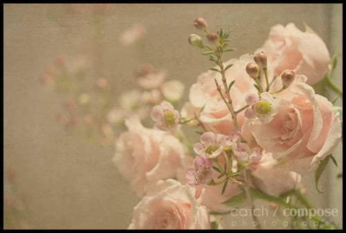 pink_roses-Catch-Compose-Design