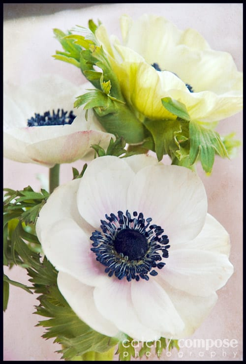 white_anemone-Catch-Compose-Design