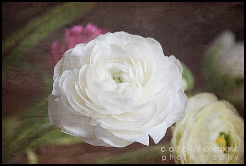 white_ranunculus-Catch-Compose-Design